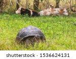 Stock photo galapagos giant tortoise and cows on farm on santa cruz island in galapagos islands amazing 1536624131