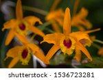 dendrobium friedericksianum... | Shutterstock . vector #1536723281
