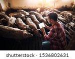 Farmer using tablet in pig pen...