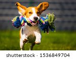 Stock photo beagle dog jumping and running like crazy with a toy in a backyard towards the camera 1536849704