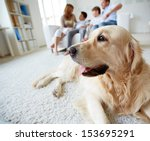 Stock photo portrait of cute pet lying on the floor on background of family of four having rest at home 153695291