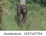 Western Chimpanzee  West...