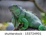 Female Green Iguana  Iguana...