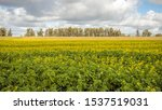 Yellow Flowering Rapeseed On A...