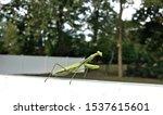 Green Praying Mantis In Backyard