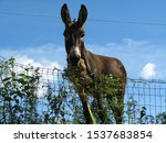 Small photo of The most stubborn of animals, the donkey