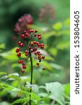 Small photo of Actaea rubra (red baneberry, chinaberry, doll's eye)