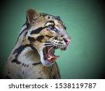 Head Of Clouded Leopard  ...