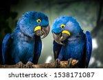 Hyacinth Macaw Portrait In...
