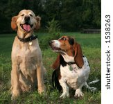 golden and basset hound sitting next to each other - stock photo