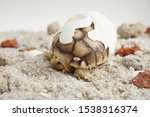 Stock photo africa spurred tortoise are born naturally tortoise hatching from egg cute portrait of baby 1538316374