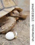 Stock photo africa spurred tortoise are born naturally tortoise hatching from egg cute portrait of baby 1538316944