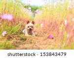 Stock photo yorkshire terrier and cosmos field 153843479