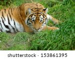 close up beautiful tiger in... | Shutterstock . vector #153861395