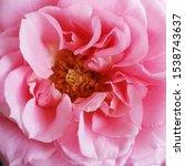 macro photo nature flower pink... | Shutterstock . vector #1538743637