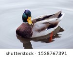 Photo Of A Canadian Duck  Anas...