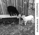 Small photo of The black sheep of the family grazing on the farm