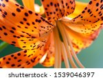 close up of beautiful a orange... | Shutterstock . vector #1539046397