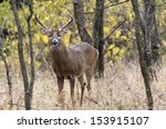 This Large White Tail Buck Was...