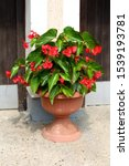Begonia Dragon Wing Red Plant...