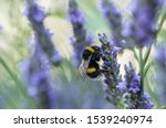 Bumblebee On The Lavender...