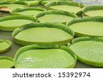 Majestic amazon lily pads in tropical Asia - stock photo