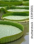 Amazon lily pads in tropical Asia - stock photo