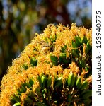 Small photo of Splendid cluster of bright yellow flowers of wild plant agave fourcroydes with several birds phylloscopus canariensis between its large stamens and looking around, on unfocused natural background