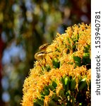 Small photo of Several birds phylloscopus canariensis on a splendid cluster of yellow flowers of the wild plant agave fourcroydes, eating exquisite nectar between its juicy stamens, on unfocused natural background