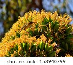 Small photo of Little bird phylloscopus canariensis eating sweet nectar between the juicy stamens of a splendid cluster of yellow flowers on the wild plant agave fourcroydes, o unfocused natural background
