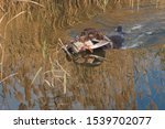 Small photo of German hunting watchdog drathaar, Beautiful dog portrait on the hunt. A hunting dog pulls out prey from the water.
