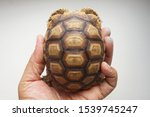 Stock photo tortoise on the hands of man african spurred tortoise cute portrait of baby tortoise geochelone 1539745247