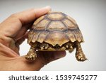 Stock photo tortoise on the hands of man african spurred tortoise cute portrait of baby tortoise geochelone 1539745277