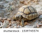 Stock photo close up african spurred tortoise resting in the garden slow life africa spurred tortoise 1539745574