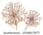 Close Up Of Allium Seed Heads...