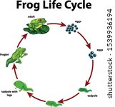 diagram showing life cycle of... | Shutterstock .eps vector #1539936194