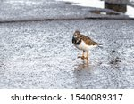 Ruddy Turnstone Searching For...