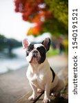 Cute French Bulldog Black And...