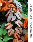 bauhinia aureifolia  golden... | Shutterstock . vector #154023617