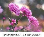 Chrysanthemum Flowers Bloom In...
