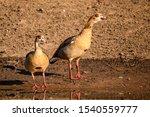 Egyptian Goose Pair Patrolling...