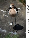 The long-legged American Avocet. - stock photo
