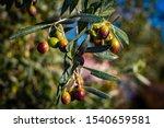 Fresh Olives Close Up Photo....
