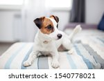 Purebred Jack Russell Terrier...