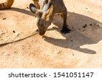 Kangaroo Eating Food  In A Zoo...