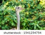 Portrait Of A Common Ostrich ...
