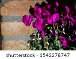 fuxia fluo cyclamini with stone red background - stock photo