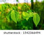 Green Beech Leaves In Spring