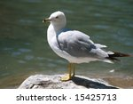 close up  seagull on a rock | Shutterstock . vector #15425713