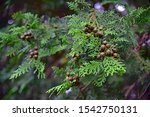 Japan Native Conifers ...